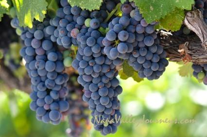 merlot wine, merlot grapes, napa valley