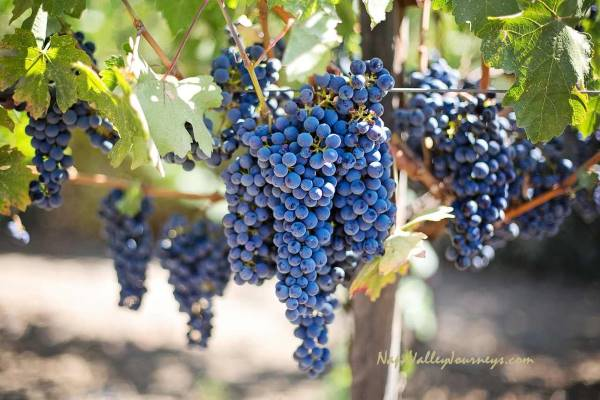 napa valley, napa valley grapes, napa valley grapevines