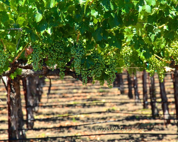 napa valley grapevines